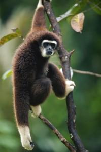In den Wäldern des Nationalparks leben unter anderem Gibbons